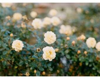Yellow Roses   Orlando, Florida   Fine Art Print by Heidi Vail   Garden & Flower Photography   Wall Decor
