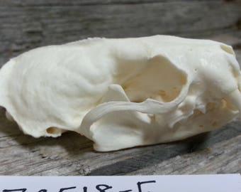 Mink Skull - Museum Quality - Mustela vison - Lot No. 170518-E