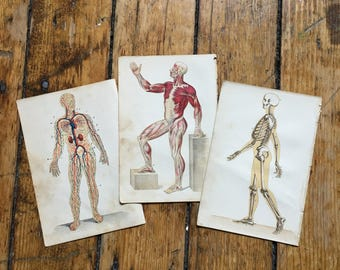 c. 1884 HUMAN ANATOMY PRINTS - skeletal muscular and circulation - antique medical prints - physiology medical illustrations - set of 3