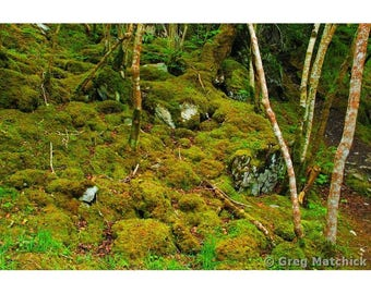 """Fine Art Color Photography of Mossy Forest Landscape in Ireland """"Reenadina Wood 2"""""""