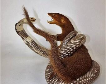 Mongoose Fighting a Cobra, Bizarre Taxidermy