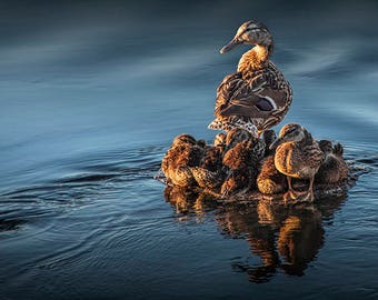 Mallard Mother Hen standing Guard over her Ducklings on the Flat River in Lowell Michigan No.5854 A Fine Art Wildlife Water Fowl Photograph