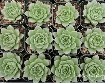 Succulents Photography, Still Life, Garden Photo, Wall Art