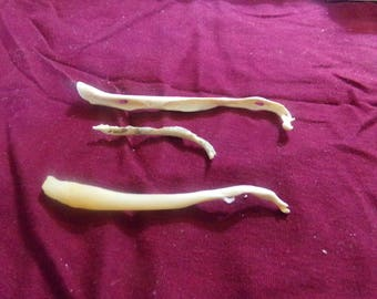 3 Real animal coon broke bone organ taxidermy weird craft supply part raccoon penis