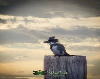 Kingfisher photography, bird photography, nature photography, wildlife photograph, sea bird print, nature wall decor, bird wall art