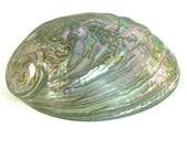 LARGE ABALONE SEASHELL Natural Paua Shell, Rainbow Colors, Beach Nautical Decor