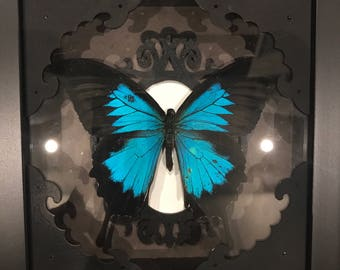 Real black and blue swallowtail butterfly taxidermy display !
