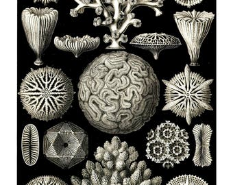 Ernst Haeckel's Vintage Artwork Hexacoralla
