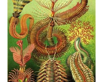 Ernst Haeckel's Vintage Artwork Chaetopoda