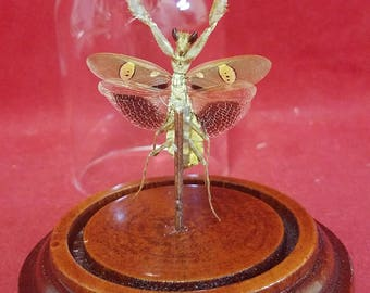 Jeweled Flower Mantis Creobroter gemmatus Male Spread dome display-entomology