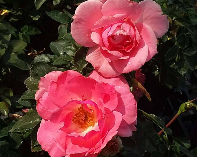Passionate Kisses Rose Non-stop Salmon Pink Flowers! Grown Organic Hardy Floribunda Rose Plant 4 Inch Container Own Root Rose