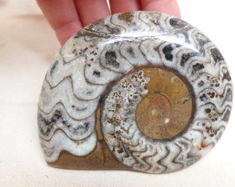 Polished Ammonite Specimen - Ammonite