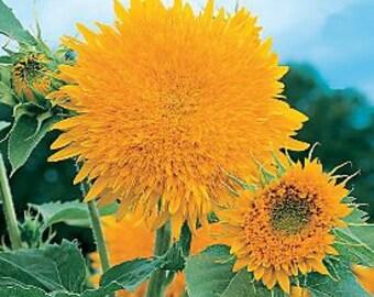 Sunflower Giant Sun Gold (Helianthus annuus) * 50 Seeds