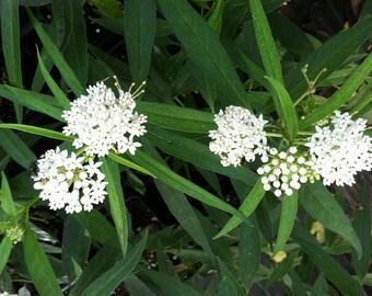Asclepias perennis | Aquatic White Milkweed | 10 seeds