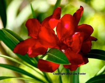 Vivid Red Oleander.  20+ Seeds. Fast Shipping USA... Buy 1 Get 1 FREE