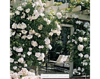 25-PCS White Climbing Rose Seeds  Beautiful Fragrant Flower & Foliage
