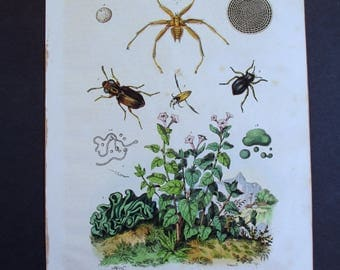 1839: Nycteribiidae bat fly, etc. Natural History Engraving. Antique Hand-colored Print, Guerin. Original.