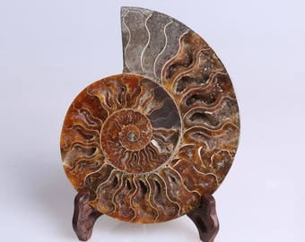 Split Ammonite Fossil Specimen Shell Healing Madagascar,Natural Home Decor+ Free Wenge Stand J509R