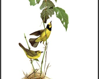 """The Hooded Warbler painted by J F Landsdowne for Birds of the Eastern Forest2. The page is 9 1/2"""" wide and 13"""" tall."""