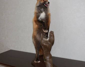 Siberian Cross Fox - Taxidermy Mount, Stuffed Animal For Sale - ST4152