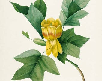 Tulip Flower Art Print, Botanical Art Print, Flower Wall Art, Flower Print, Floral Print, Redoute Art, yellow, green