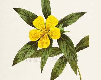 Yellow Alder Flower Art Print, Botanical Art Print, Flower Wall Art, Flower Print, Floral Print, yellow