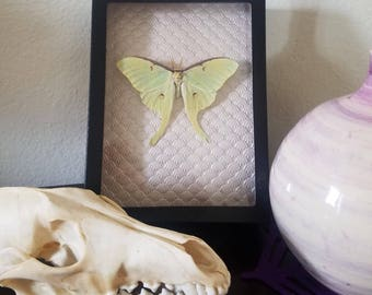 Taxidermy Luna Moth
