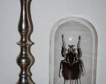 Goliathus apicalis mounted in glass dome