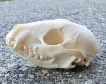 Raccoon Skull - ChippersTaxidermy