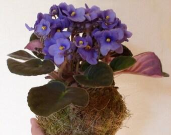 Kokedama de violeta africana Regalo personalizado Regalos de aniversario Regalo de boda Decoración japonesa Saintpaulia Arte japonés