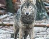 European Grey Wolf Blank ...