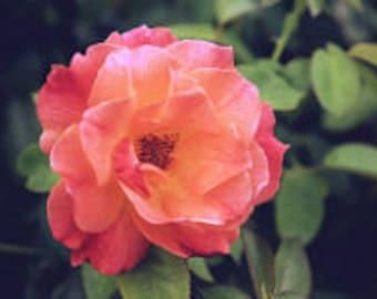 "Professional Enlarged HD Macro Print Wooded Framed Oklahoma Pink Rose Bloom 16""x20"""