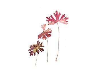 Plant/Flower pressing - photograph