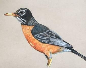 American Robin Original Drawing