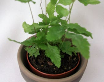 types of ferns. pixie plant- miniature plants fern selection. select from two different types of ferns for