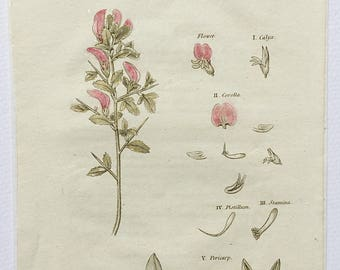 1812 Dr Thorntons Flora, Rest Harrow, Ononois spinosa, Botanical bookplate, Page 296, Copper engraving, Hand coloured botany print