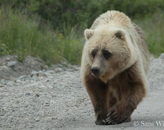 Big Blond Bear on a Stroll - Nature and Wildlife Photography Wall Art - Grizzly Portrait in Denali National Park - Blond highlights brown