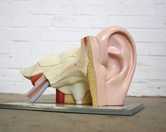 Mid Century Anatomical Model Of The Ear Circa 1950s