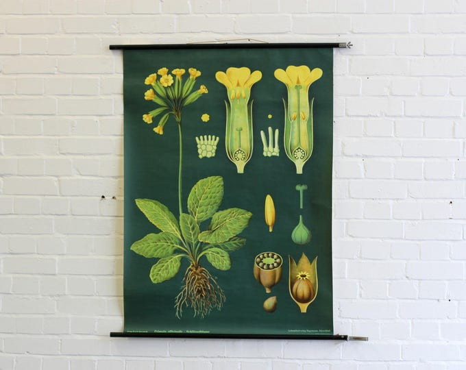 Mid Century Canvas Botanical Wall Chart Of The Primrose Flower