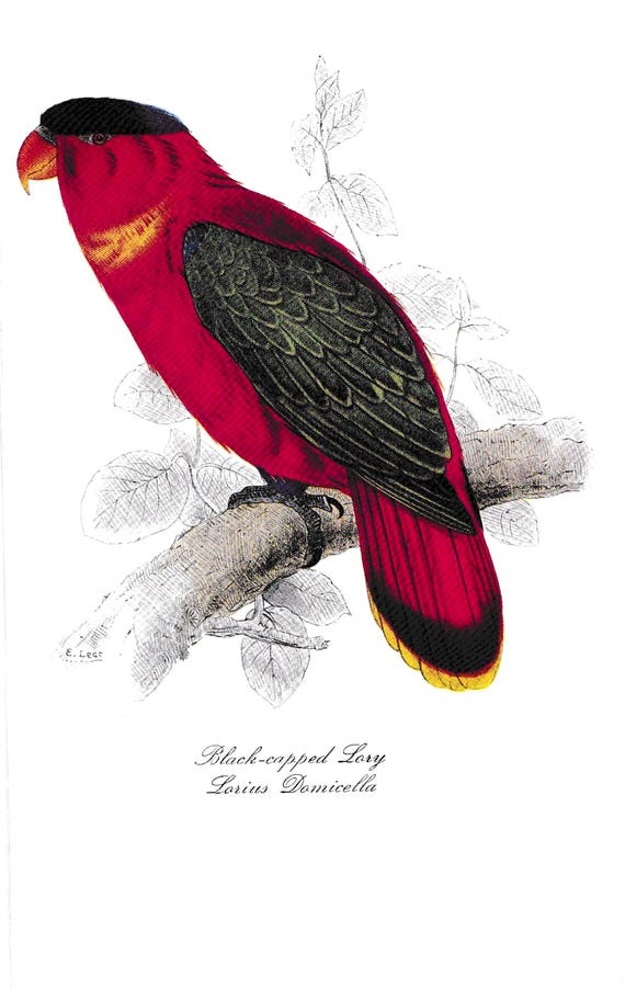 1940's print of parrot, Black-capped Lary, reproduction of coloured lithograph by Edward Lear, red, green, yellow, black, feathered bird