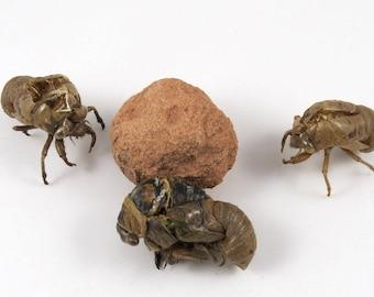 Cicada Death in Metamorphosis Specimen, plus Exoskeletons Bizarre Creepy and Unusual Bug