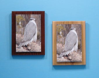 Colorado Goshawk Wildlife framed on Cedar Wood, Who goes there?, Digital Photography, Nature Photography, home or office wall decor