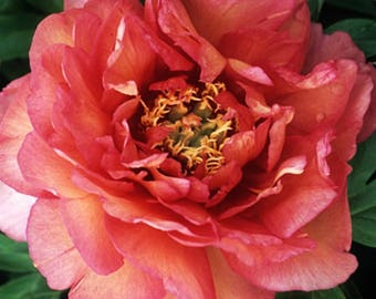 Itoh Peony Hillary (2-3 eye bare root) ~ SHIPPING OCTOBER