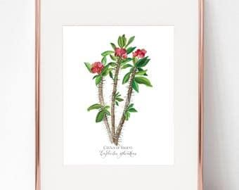 The Crowning of Thorns, Crown of Thorns, Euphorbia splendens print