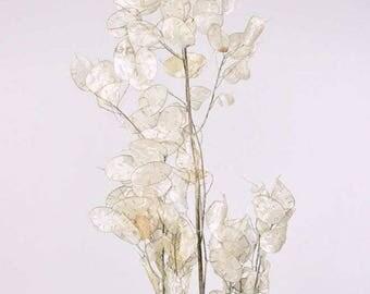 Dried Silver Plants, dried lunaria, dried money plant