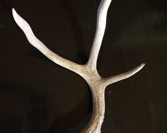 Naturally Shed Mule Deer Antler, Sun-bleached Three Point