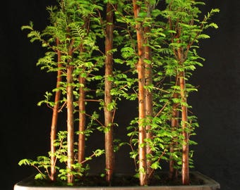 Specimen Metasequoia Forest Bonsai in unglazed ceramic pot 75cm