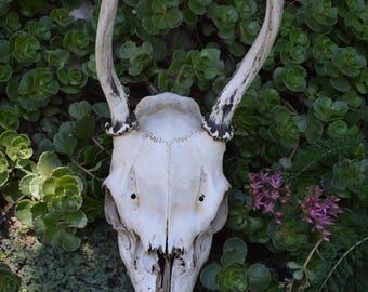 Real Deer Skull With Antlers