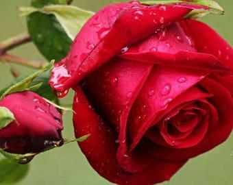 RED ROSES Jo Malone London For Women type -  Perfume Fragrance Body Oil Roll On - Long Lasting (6-15 hrs)