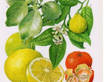 Vintage Citrus Fruit Lithograph, Grapefruit, Lime, Tangerine, Citrus Fruits, Citrus Fruit Print, Fruit Print, Fruit Lithograph, Food Prints